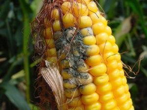 corn_damage