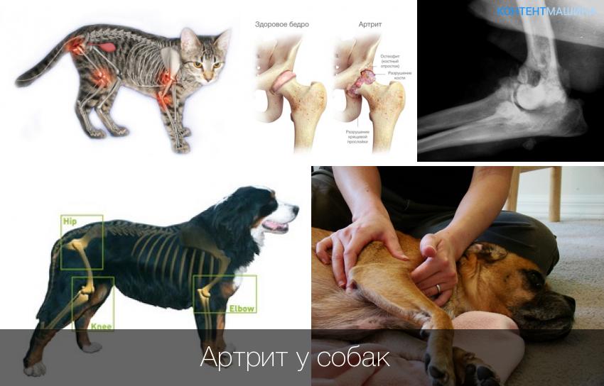 заболевание собак суставы