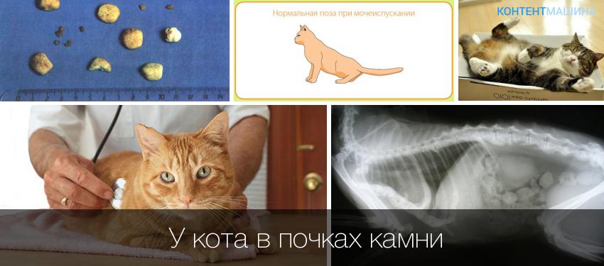 Мкб у кошки лечение в домашних условиях 187