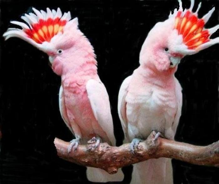 Основной возбудитель орнитоза и прочие болезни волнистых попугаев